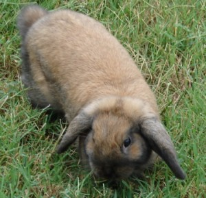 Ginger Bunny - a Holand Lop