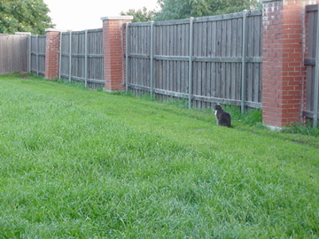 KC kitty in the lawn