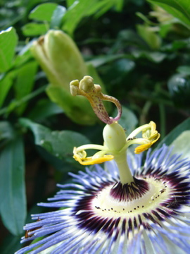 Dancing Passion Flower