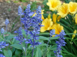Mealy Blue Sage and Yellow Daylily