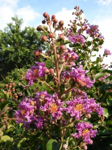 Sam's Purple Crape Myrtle