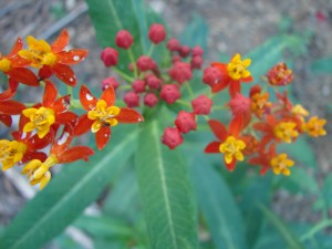 Tropical Blood Weed - Scarlet Milk Weed